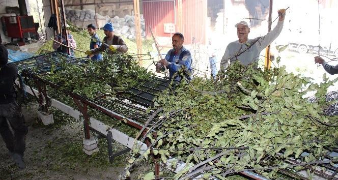 Defne yaprağı dünyaya ihraç ediliyor