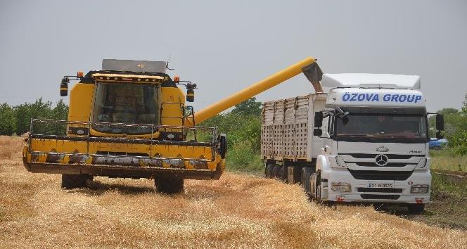 Kırıkhan'da buğday hasadı başladı