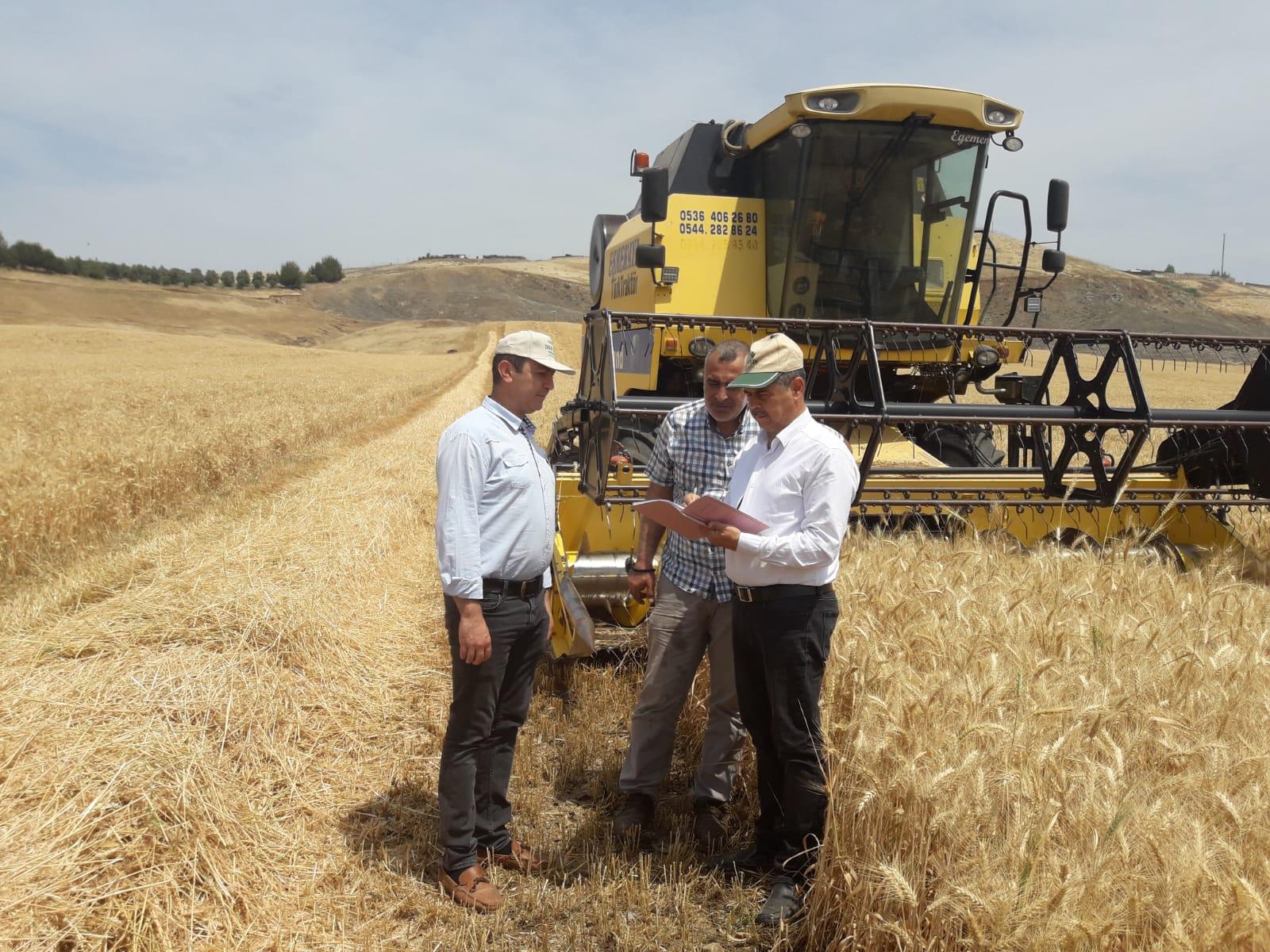 Kırıkhan'da kıraç arazide  buğday hasadı başladı