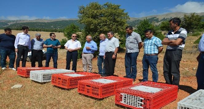 Kırıkhan'da kınalı keklikler doğaya bırakıldı