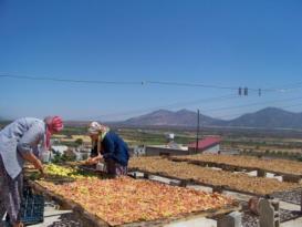 Hassa'da meşhur incir ve üzüm kurusu hazırlığı…