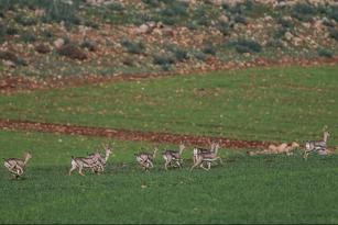 13.288 hektarlık alan Dağ Ceylanlarının