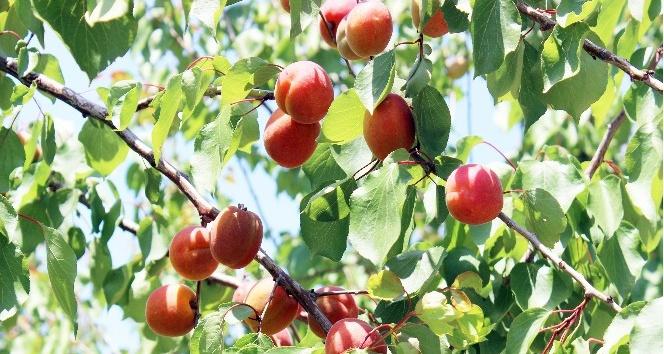 Zeytine alternatif ürettiği kayısının yüzde 85'ini ihraç ediyor