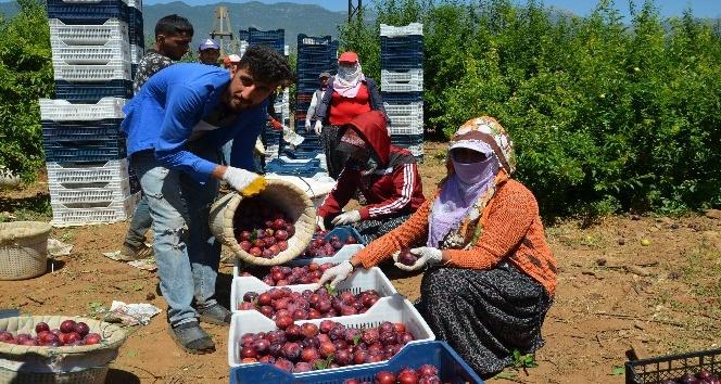 Kırıkhan'dan Rusya, Ukrayna ve Arap ülkelerine erik ihracatı