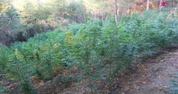 Ormanlık alanı kenevir tarlasına çevirmişler