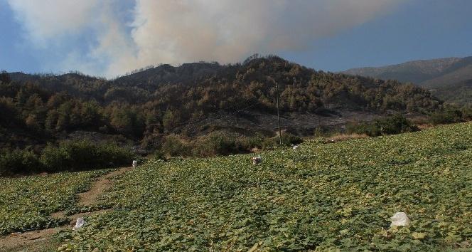Alevlerin arasında 'hasat' telaşı