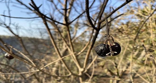 Hatay'da zeytin ağaçları kül oldu