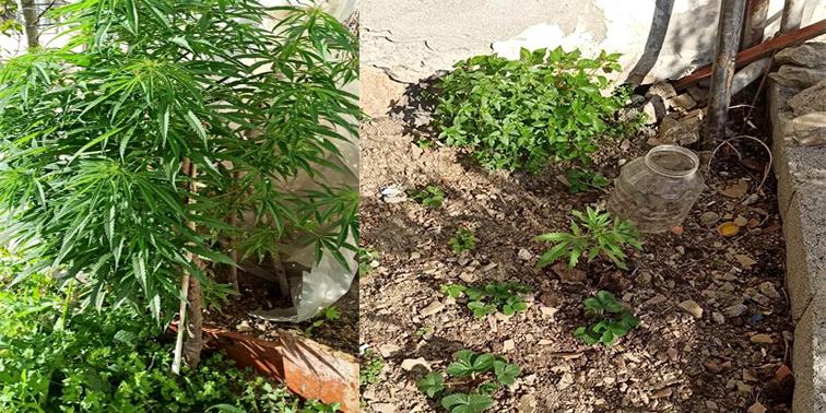 Evin bahçesinde hint keneviri yetiştiren kişi yakalandı
