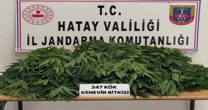 Kırıkhan'da kenevir operasyonu