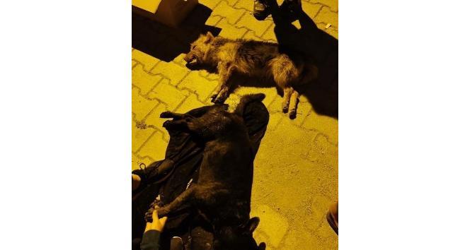 Hatay'da 5 köpeği zehirlediler