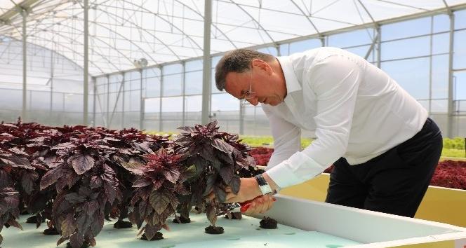 Hatay Büyükşehir topraksız tarımdan ilk ürünlerini hasat etti
