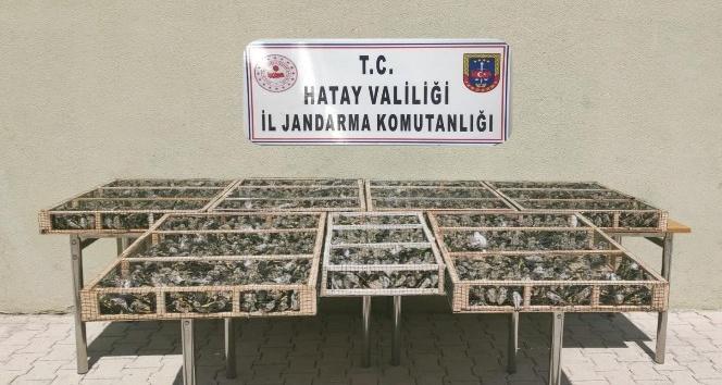 Altınözü'nde 3 bin 754 adet saka kuşu ele geçirildi