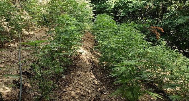 Ormanlık Alanda 5 bin 612 Bitkisi Kenevir Bitkisi Ele Geçirildi