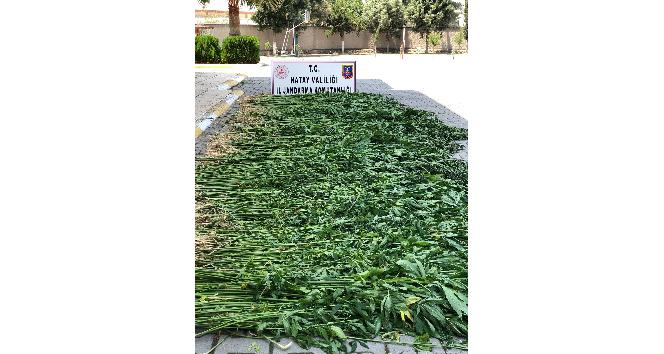 Erzin'de 4 bin 715 kök kenevir bitkisi ele geçirildi