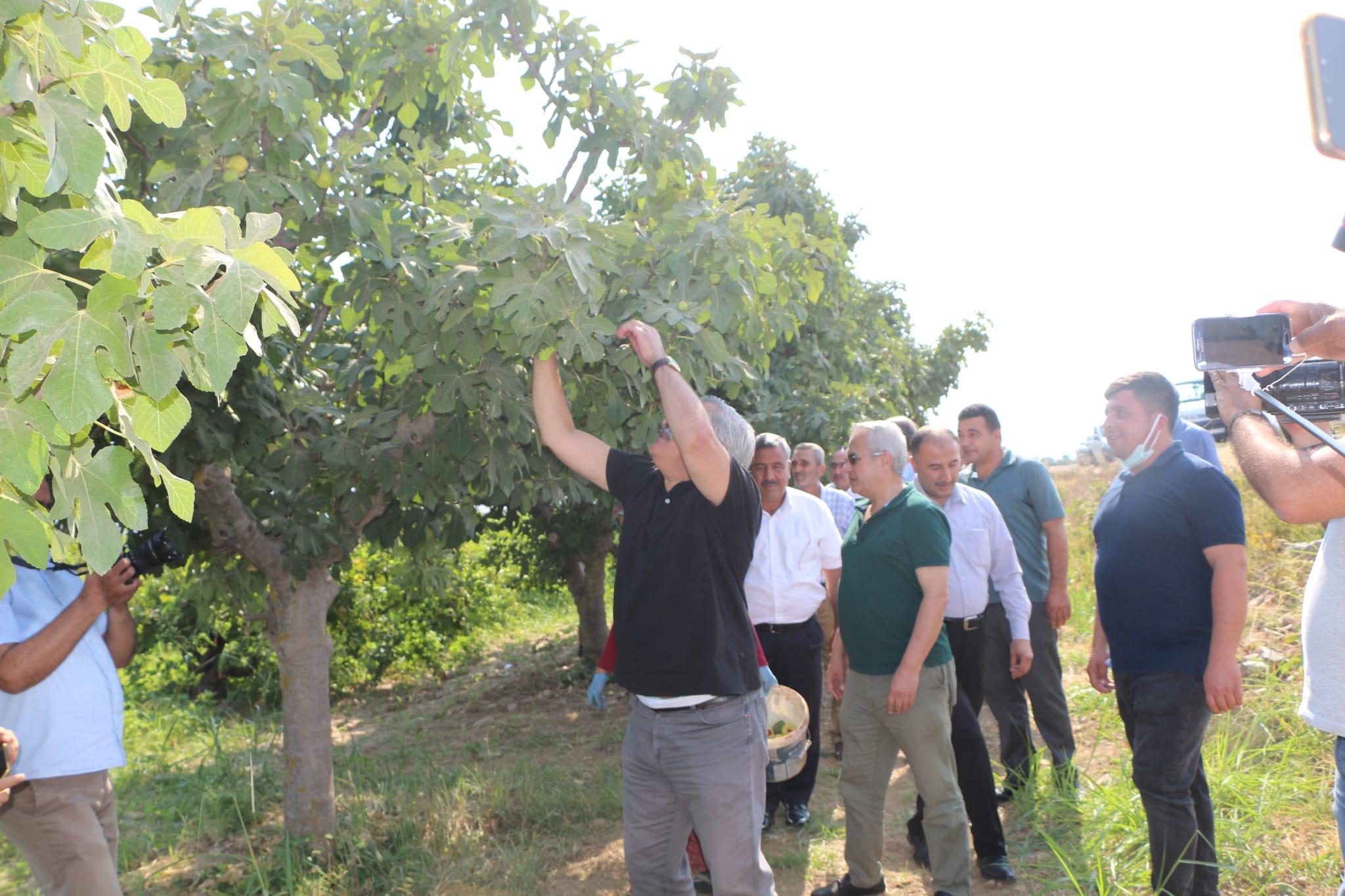 Hassa'da İncir hasadı gerçekleştirildi
