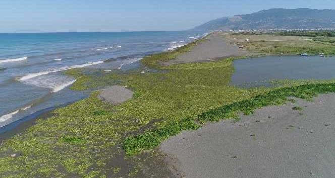 Su sümbülleri kumsalı kapladı