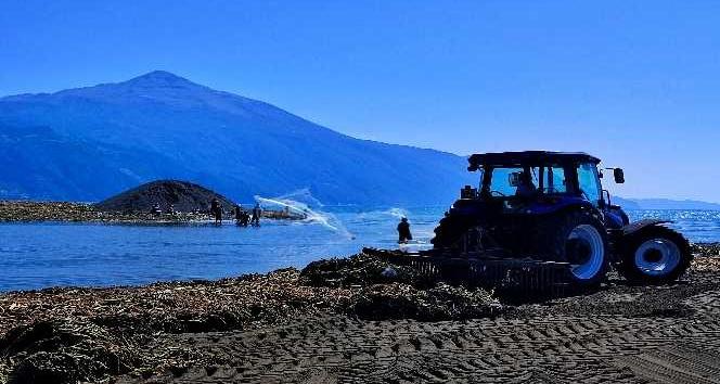 Petrolün kirlettiği sahilde su sümbülü temizliği