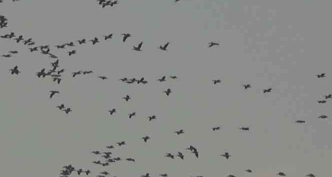 Pelikanlar ve turnaların gökyüzündeki  dansı görsel şölen oluşturdu