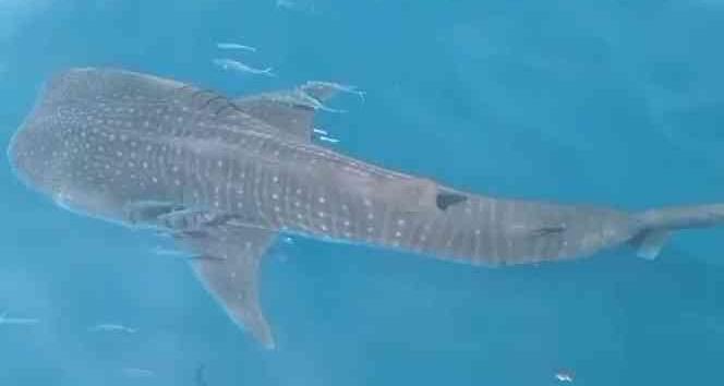 Hatay'da  köpek balığı şoku